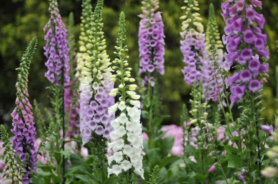 Fantastic foxgloves