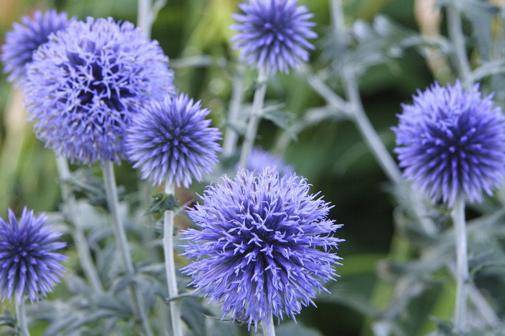 Easy-care, long-lasting echinops ritro