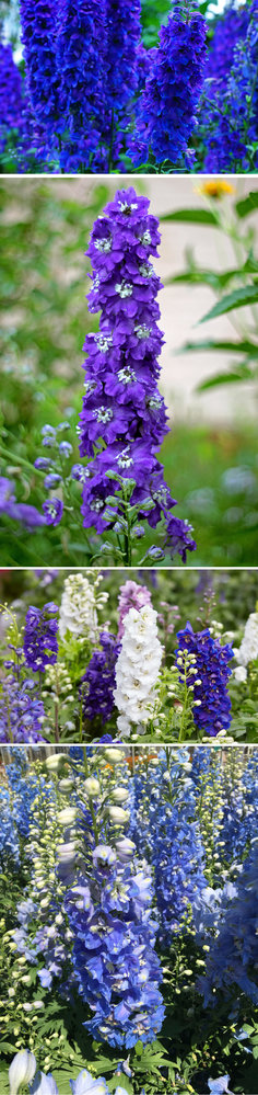 Striking and statuesque delphiniums