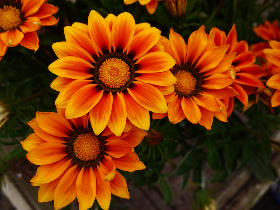 Picture of Live African Daisy aka Gazania orange Perennial Plant Fit 1 Gallon Pot