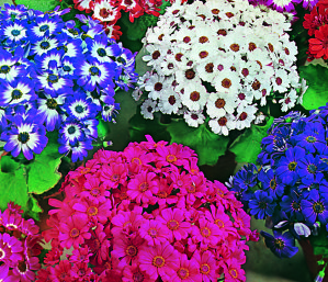 Cineraria - Dwarf Mixed