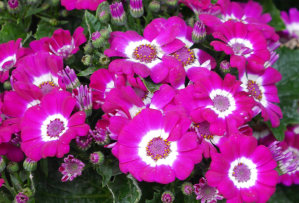 Cineraria - Jester Mixed
