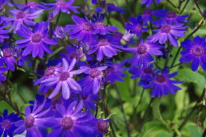 Cineraria - Tall Mixed