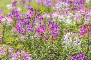 Cleome - Queen Mixed