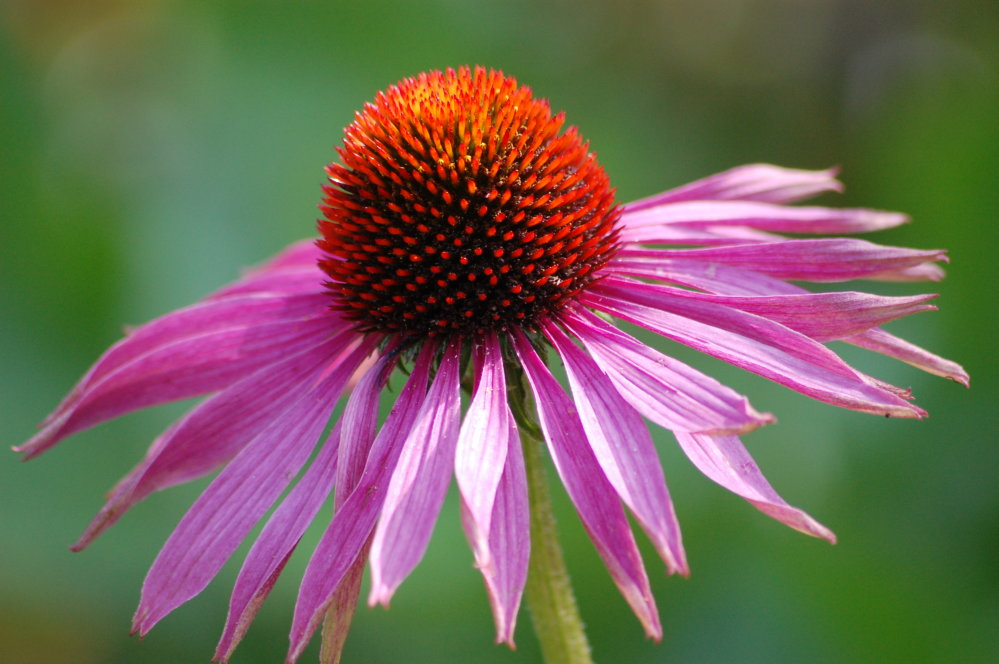 Coneflower Echinacea - Purple