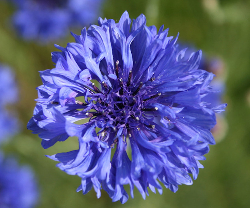 Cornflower - Dwarf Blue
