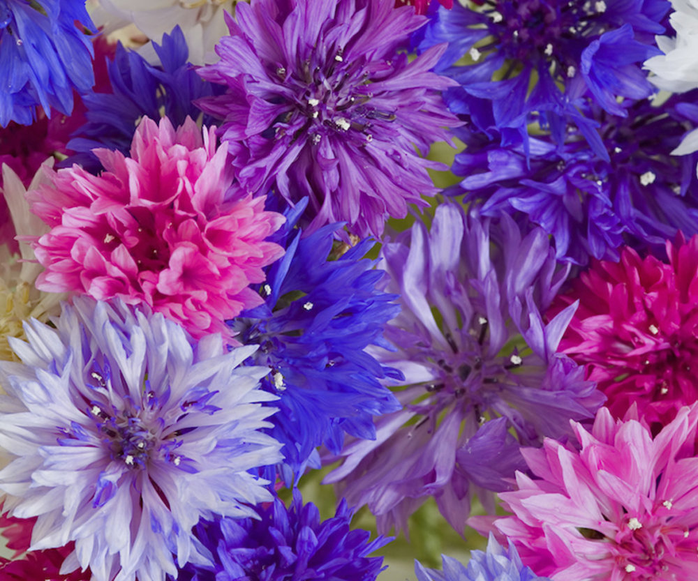 Cornflower - Dwarf Mixed