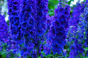 Delphinium - Black Knight