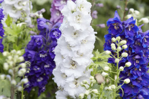 Delphinium - Round Table
