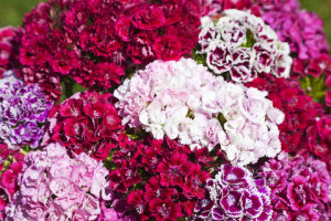 Dianthus - Double Grace Mixed