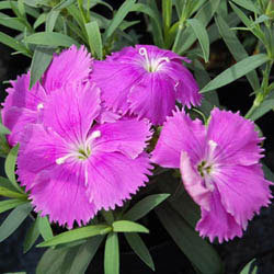 Dianthus - Diana Blueberry