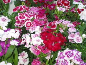 Dianthus - Mixed
