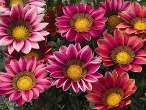 Gazania - Kiss Rose