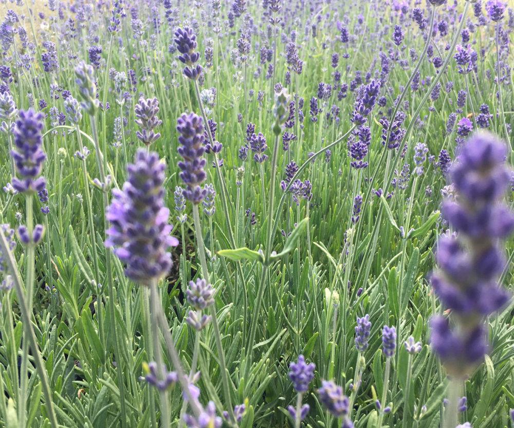 Lavender Munstead Lavmunst Awapuni Nurseries New Zealand