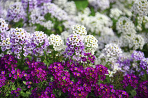 Alyssum - Wonderland Mixed