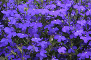 Lobelia - Dark Blue