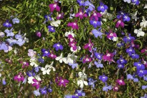 Lobelia - Mixed Colours