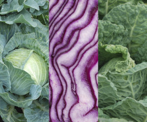 Cabbage Mix - Golden Acre, Red, Savoy
