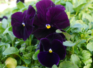 Pansy - Dark Blue