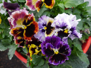 Pansy - Frilled