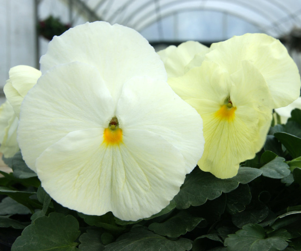 Pansy - Frost Lemon