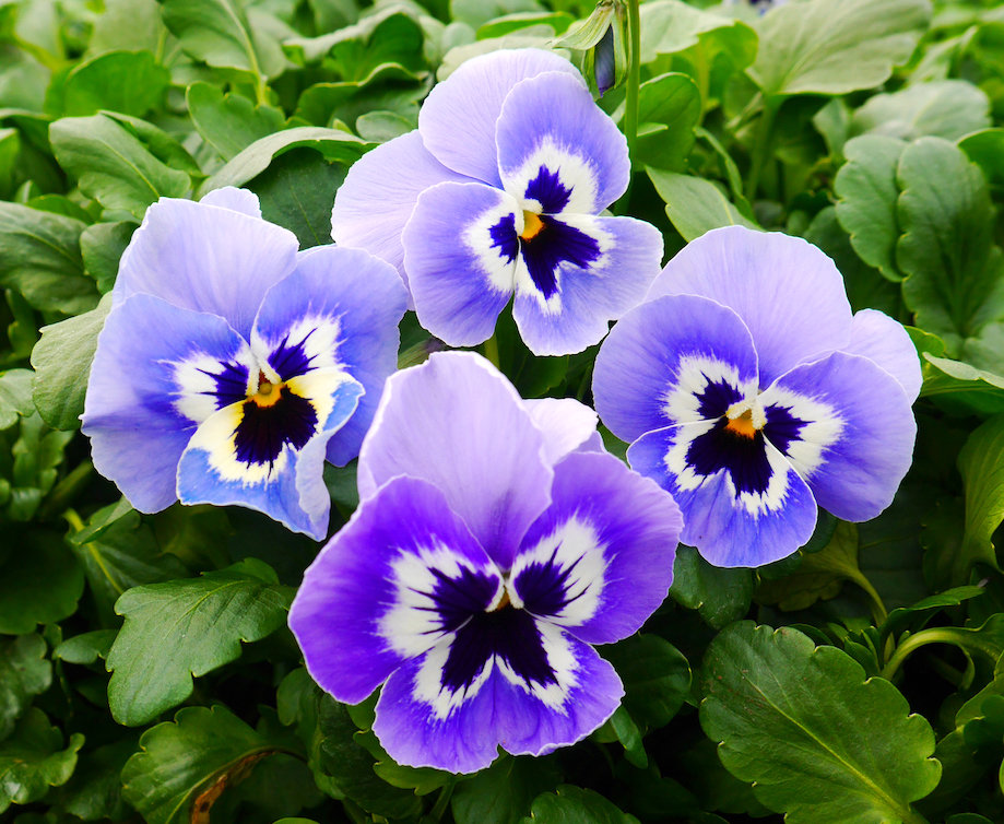 Pansy - Joker Light Blue