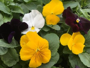 Pansy - Dawn Jewels