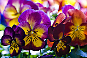 Pansy - Velvet Mixed