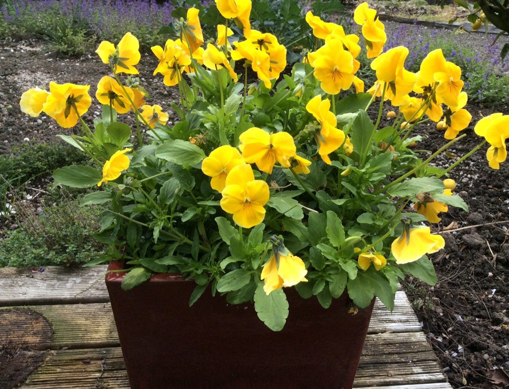 Pansy - Yellow