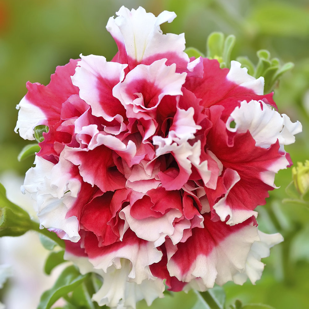 Petunia - Duo Red and White