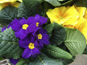 Polyanthus Supernova - Blue