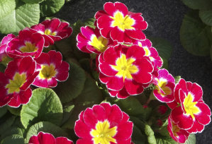 Polyanthus Supernova - Red
