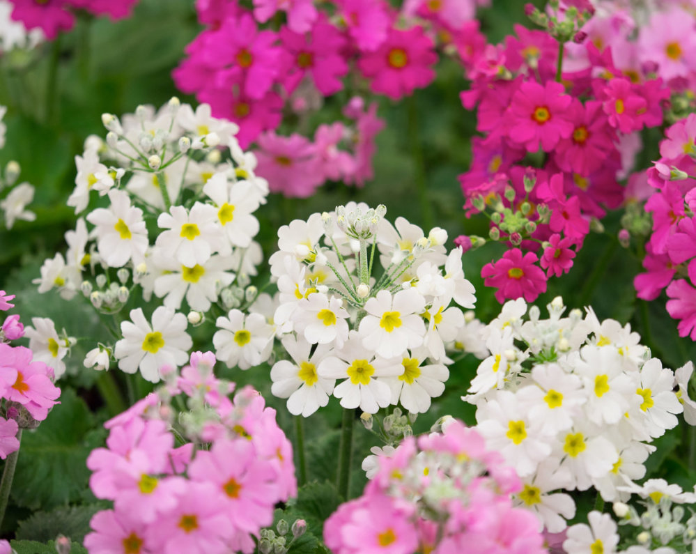 Primula - Mixed