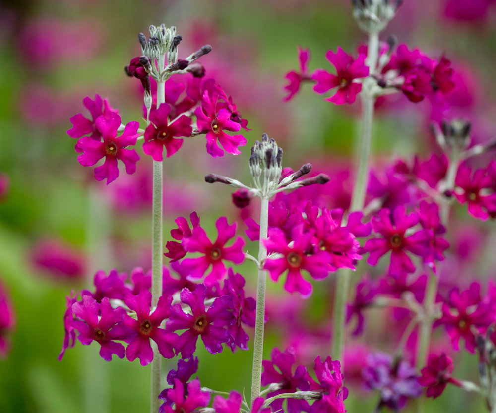 Primula - Ruby Queen