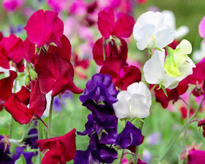 Sweet Pea - Cut Flower Mixed