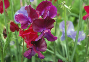 Sweet Pea - Fragrant Beauty