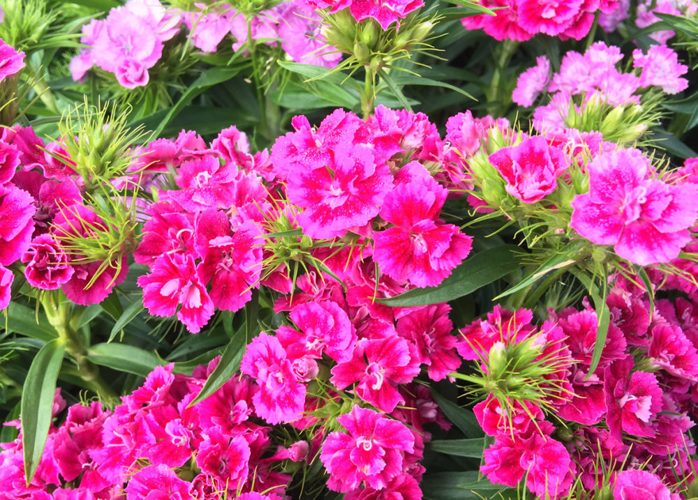 Sweet William - Mix