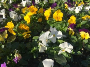 Viola - Mixed Colours