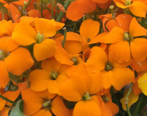 Wallflower - Citrona Orange