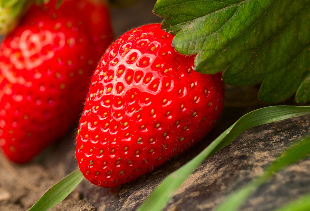 (MEGA) Strawberry Ventana 100 Plants