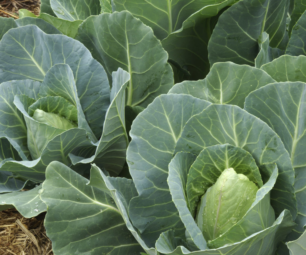 Cabbage - Spring