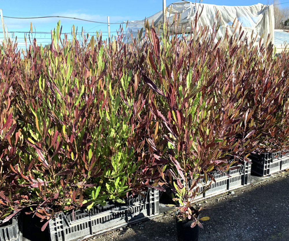 Ake Ake Red 50 Plants