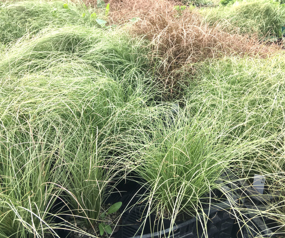 Carex Green Grass 50 Plants