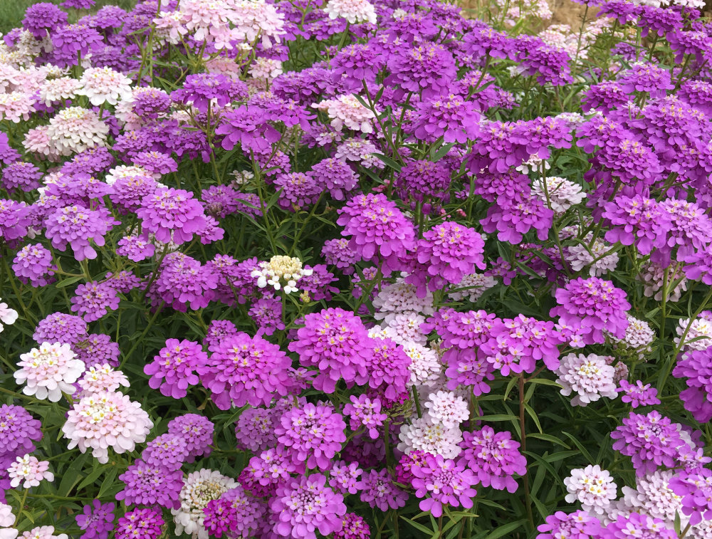 Candytuft - Dwarf Fairy Mixture