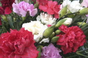 Carnation - Enfant de Nice Mixed