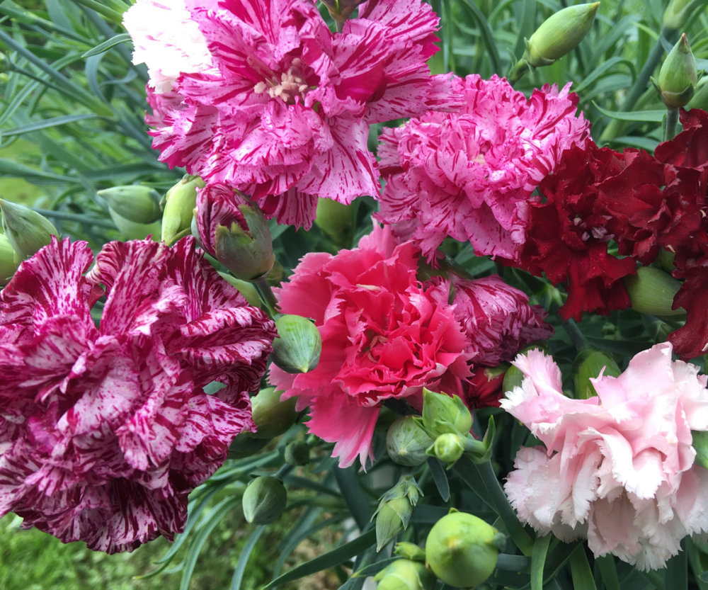 Carnation - Picotee Mix